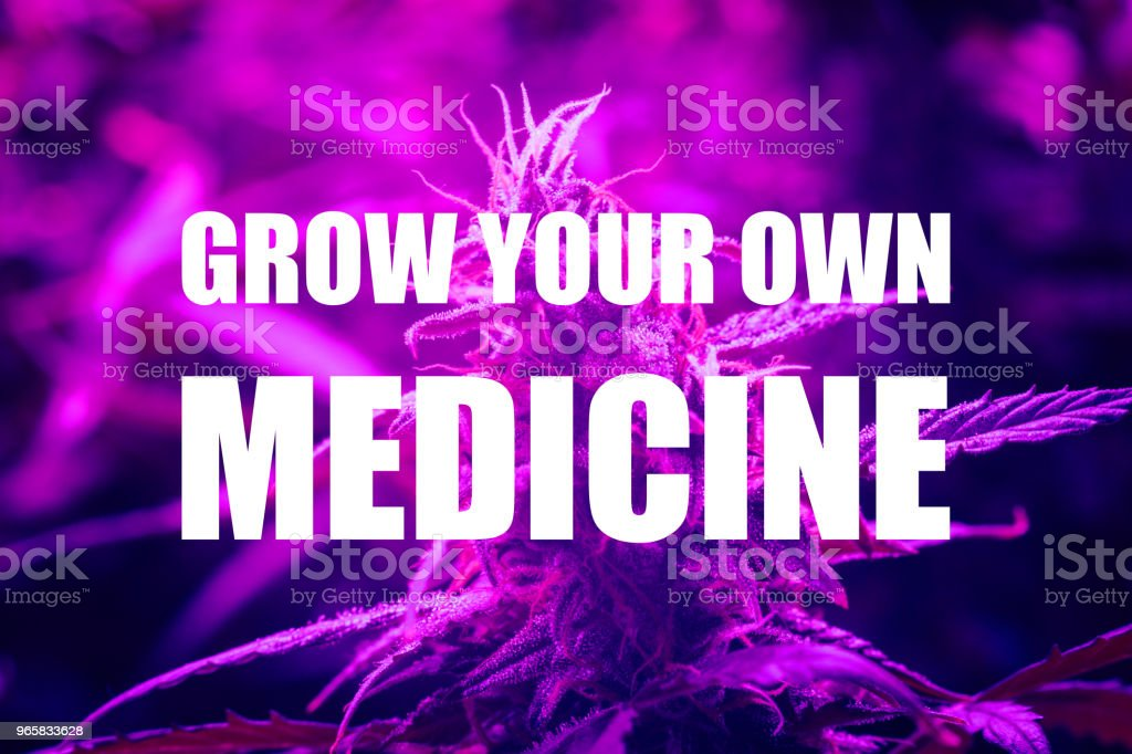 LED lamps grow A large bud cannabis grown under . The concept of growing medical marijuana under artificial light artificial. Violet light tinting. grow your own medicine text - Royalty-free Agriculture Stock Photo