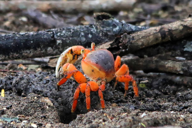 A land Crab out of its den