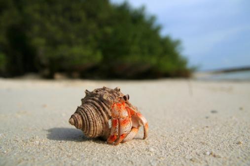 Macro Land Hermit Crab on Maldivian IslandsOther lightboxes