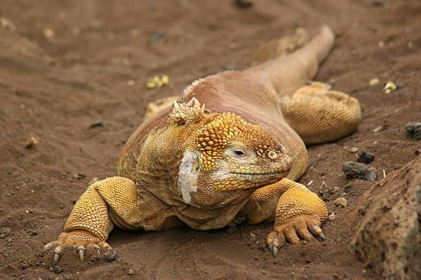 Land Iguana, Galapagos stock photo