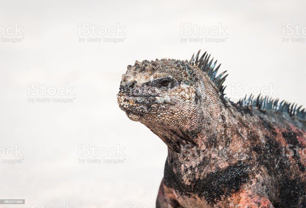 Land Iguana on Espanola, the Galapagos stock photo