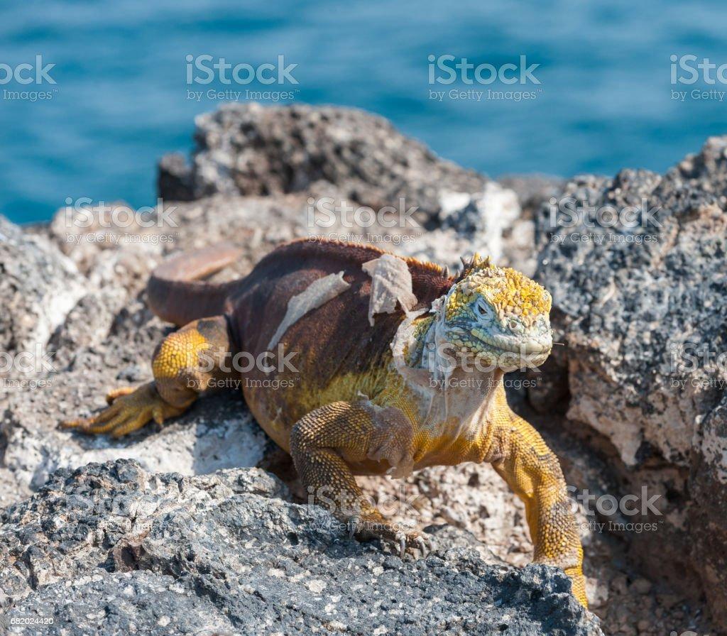 Land Iguana on Isla Plaza, the Galapagos stock photo