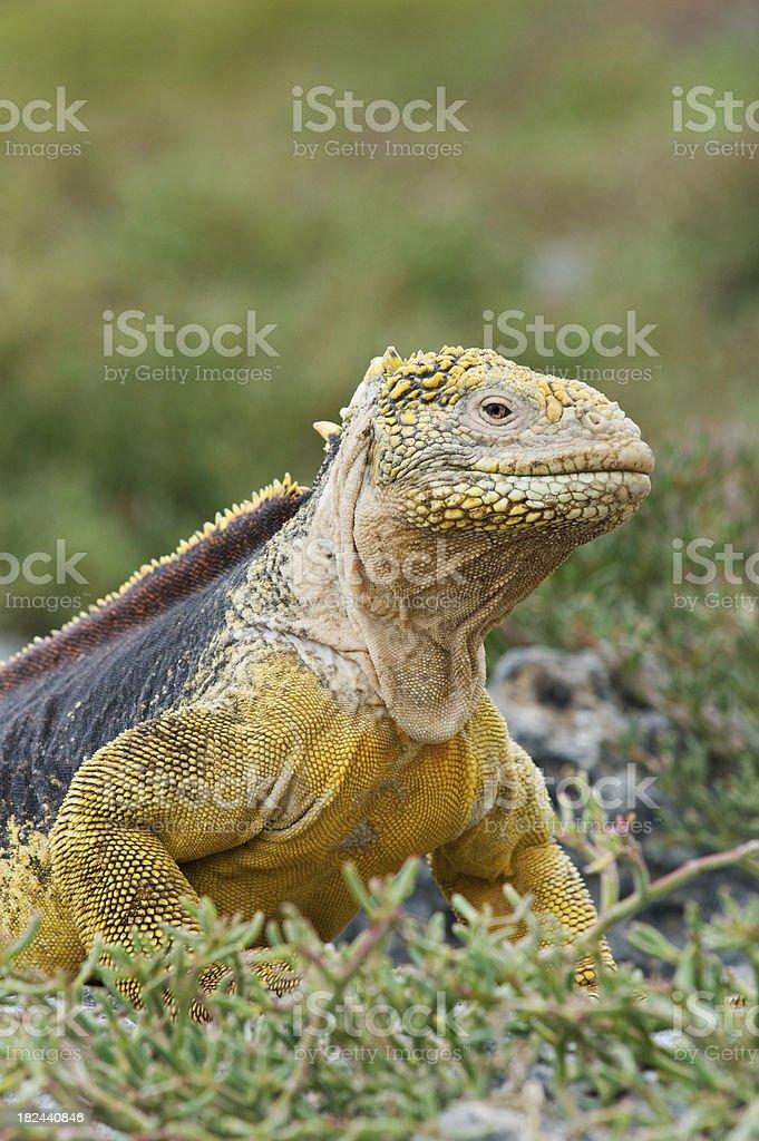 Land Iguana on the Galapagos stock photo