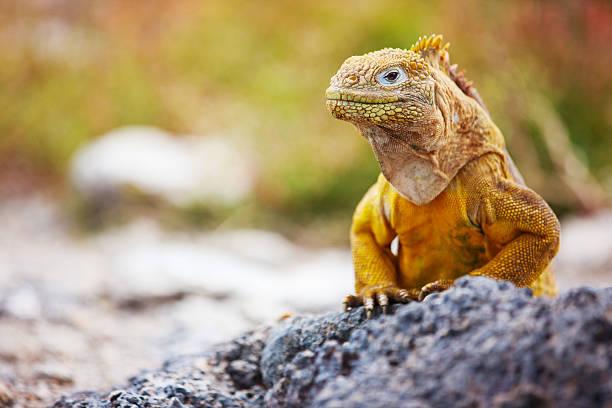 Land iguana stock photo