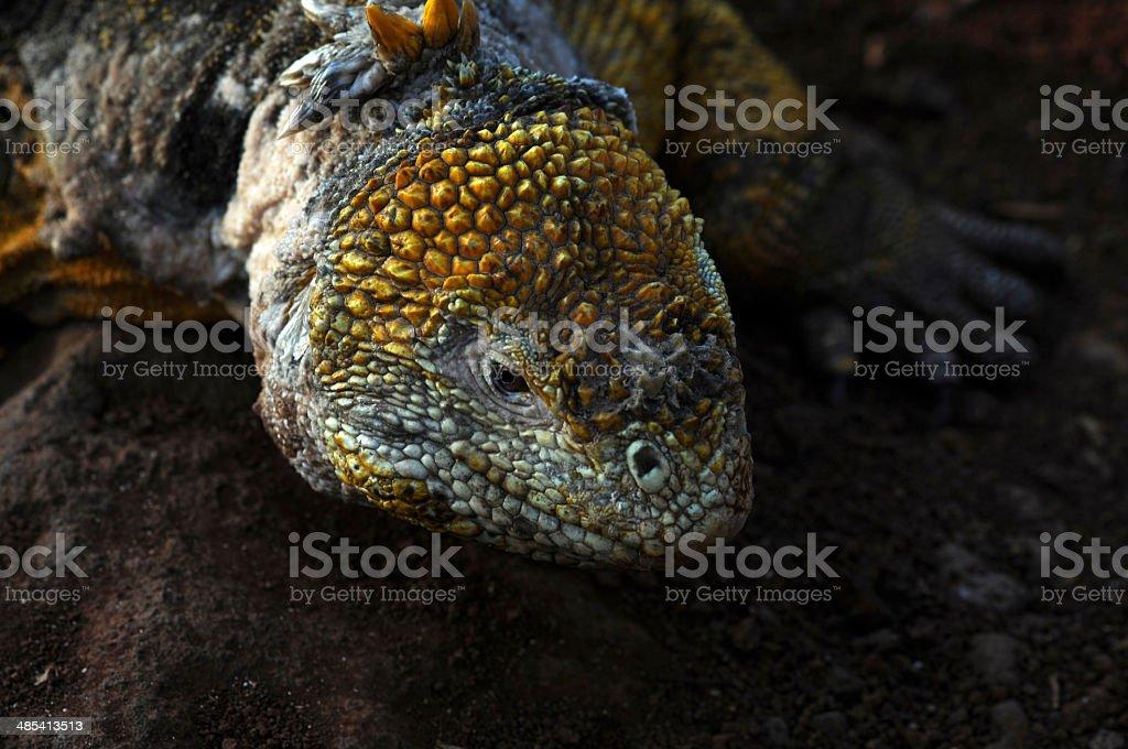 Land Iguana (Conolophus subcristatus) royalty-free stock photo