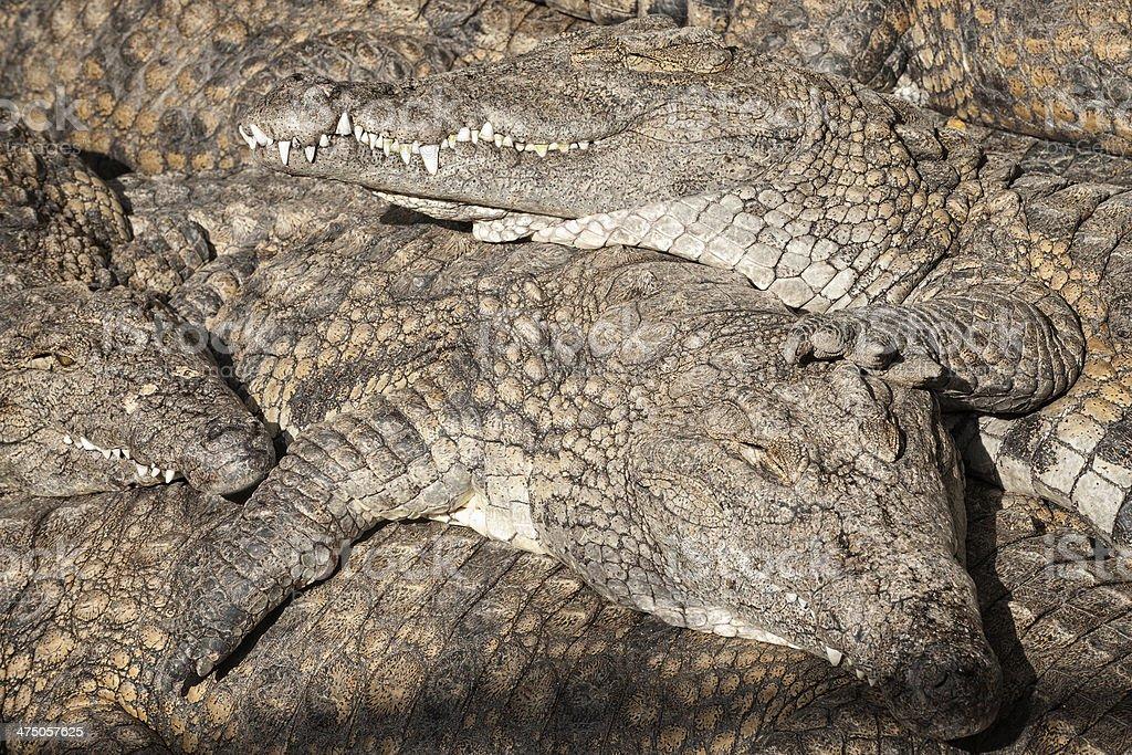Land of crocs royalty-free stock photo