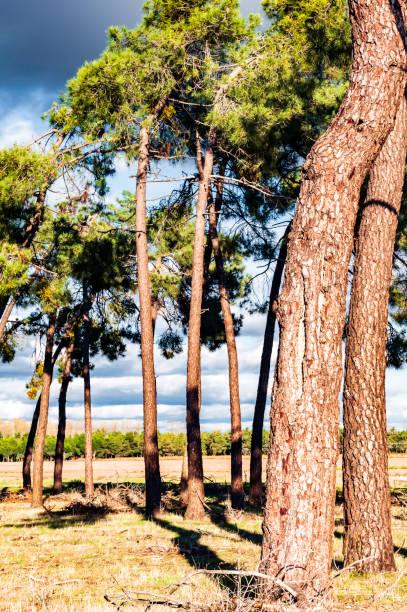 terreno de pinos, bosque frondoso, pinos con árboles de resina. - monse del campo fotografías e imágenes de stock