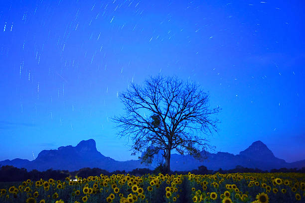 Sunflower Field At Night Stock Photos, Pictures & Royalty ...