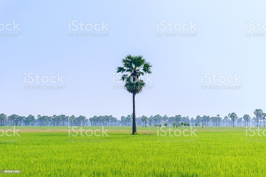 land scape view of Toddy palm and rice-field with shade stock photo