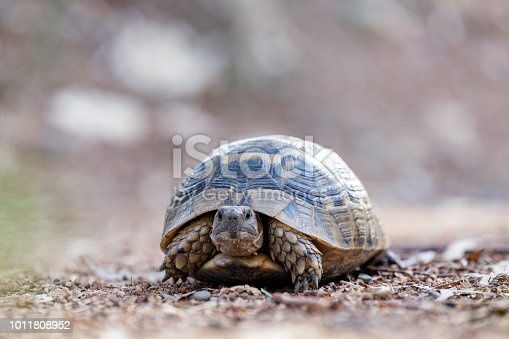 Land tortoise (Turtle). Cryptodires retract their neck backwards. Turtles are diapsids of the order Testudines (or Chelonii) characterized by a special bony or cartilaginous shell.
