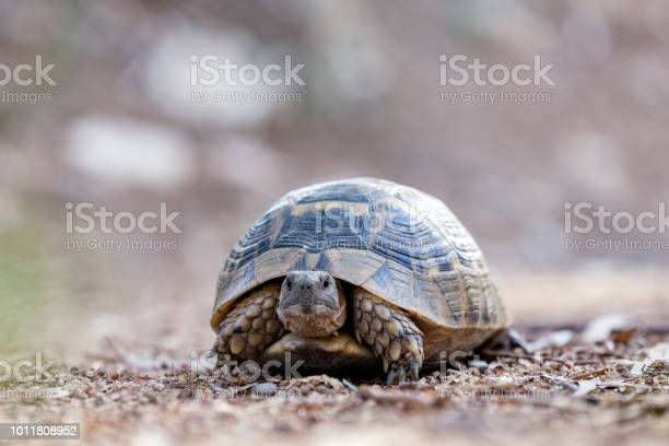 Land tortoise cryptodires retract their neck backwards picture id1011808952?b=1&k=6&m=1011808952&s=612x612&h=atgape92jygwzztrkfqy30rjvm7np0vito8yujggq q=
