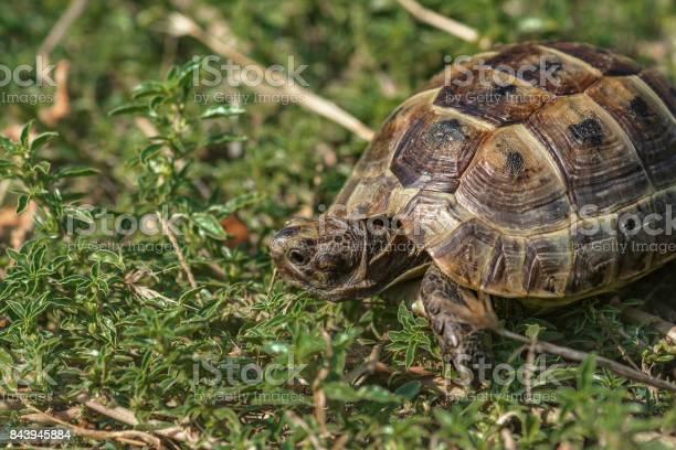 Land tortoise picture id843945884?b=1&k=6&m=843945884&s=612x612&h=z qqkrqowv10jfjqadxzisexcn8iudrijjok xzkvac=