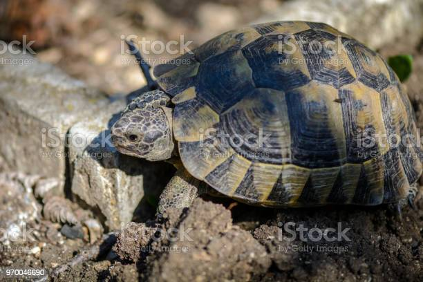 Land turtle close up proxy photo of a land turtle walking picture id970046690?b=1&k=6&m=970046690&s=612x612&h=glgseiae1hx5fzyu wk7arua218oyvc 1xot7jvagzy=