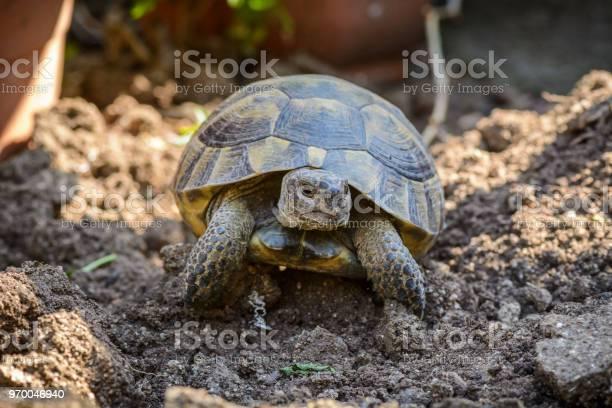 Land turtle close up proxy photo of a land turtle walking picture id970046940?b=1&k=6&m=970046940&s=612x612&h=s96dxtkqplphfnmlm8o5esijfvtcnrrd3lj05 scovy=