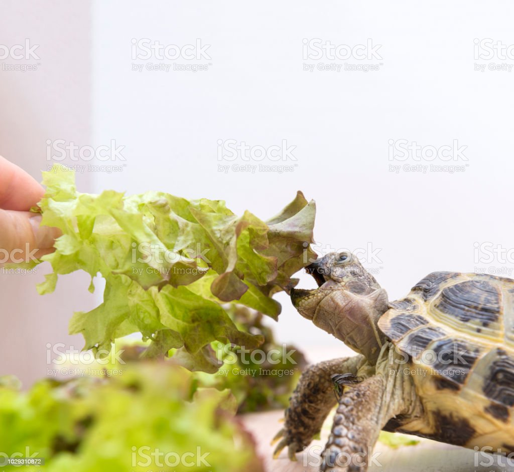 land turtle eats lettuce, lettuce, animal eats greens reptile,