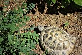 A land turtle in the garden is looking for clover to eat (Pesaro, Italy, Europe)