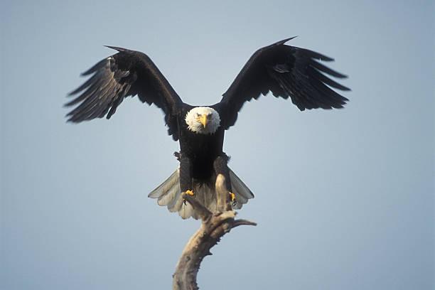 Landing bald eagle stock photo