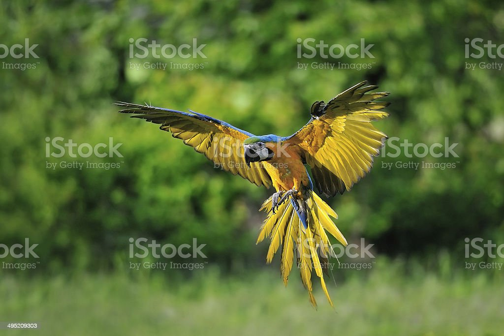 Landing blue-and-yellow Macaw - Ara ararauna stock photo
