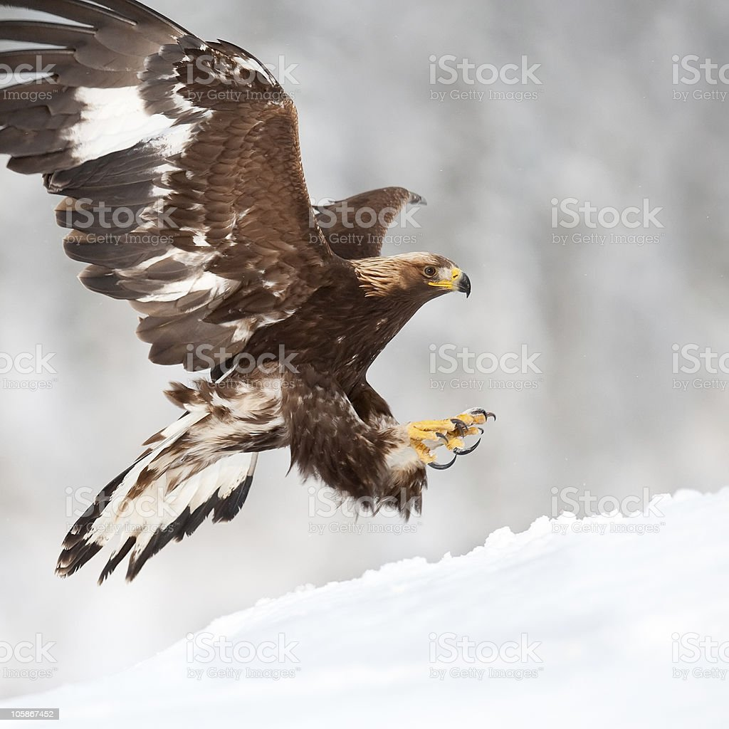 Landing eagle stock photo