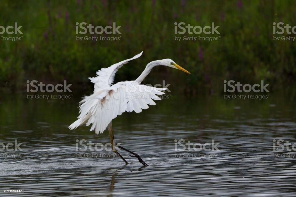 Landung Silberreiher (Egretta Alba) breite Flügel, Füße im Wasser – Foto