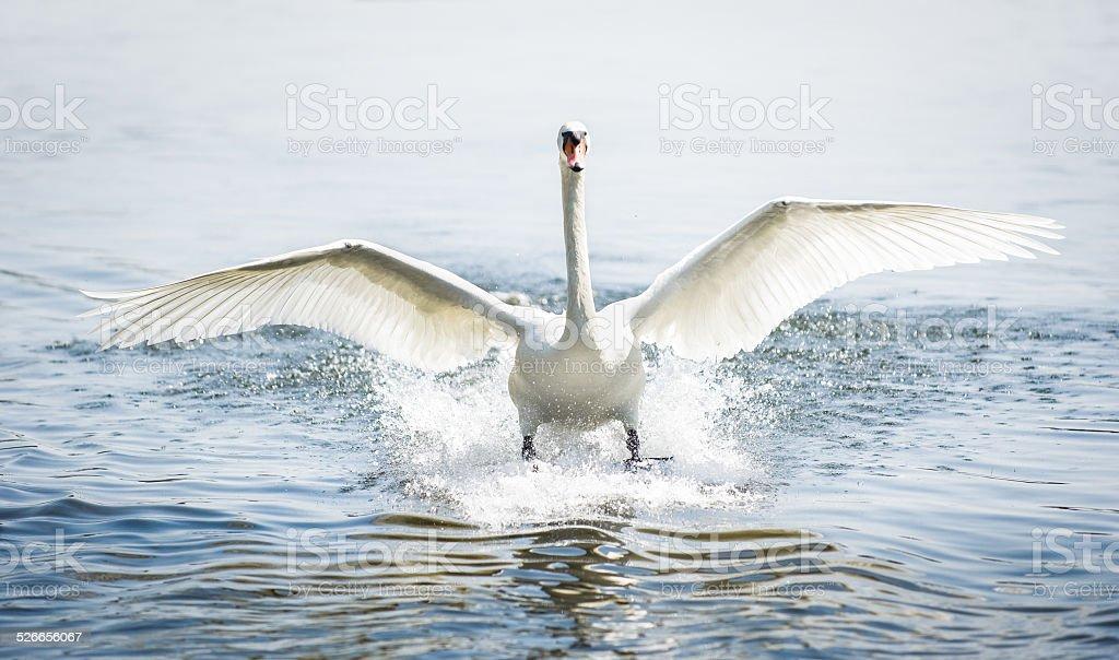 landing mute swan stock photo