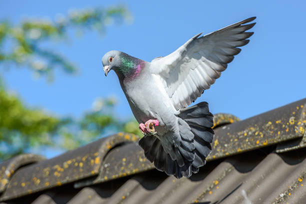 Landing of racing pigeon with wigs spread wide Racing pigeon comes home and prepares for landing pigeon stock pictures, royalty-free photos & images