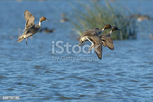 Pintail ducks drake male landing on water locked up