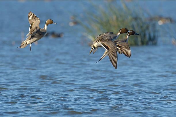 Landing Pintail Males Pintail ducks drake male landing on water locked up drake male duck stock pictures, royalty-free photos & images