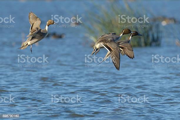 Pintail ducks drake male landing on water locked up