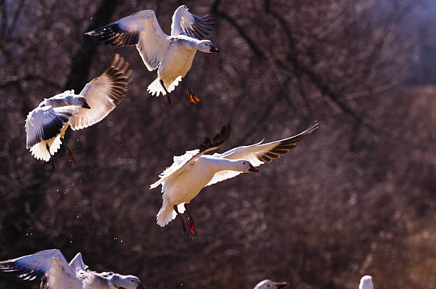 Landing posture Snow geese  show their beautiful landing posture snow goose stock pictures, royalty-free photos & images