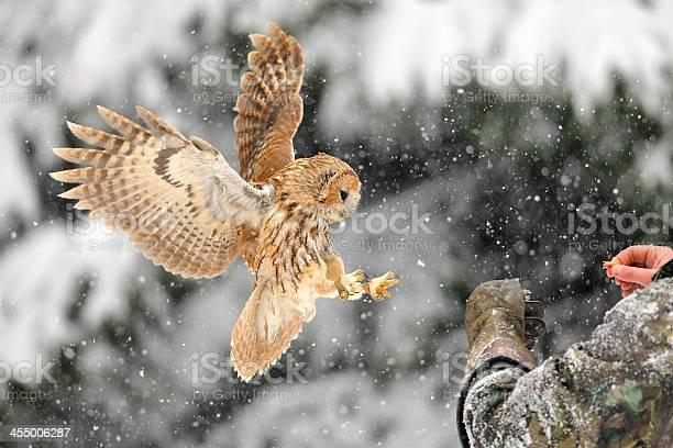 Landing tawny owl on glove picture id455006287?b=1&k=6&m=455006287&s=612x612&h=0nyt8ug9 2ayozg1vojiiwhtssmi9dzku7uwzyk uzo=