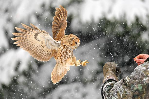 Landing tawny owl on glove stock photo
