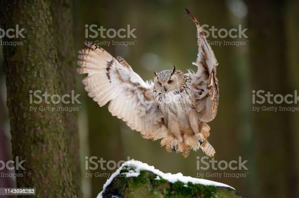 Landing western siberian eagle owl on snowy rock picture id1143698283?b=1&k=6&m=1143698283&s=612x612&h=3 pjeorksuiebe1cdxzdi7zr2lvadi2bwsbp2wqqwae=