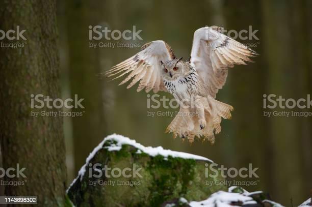Landing western siberian eagle owl on snowy rock picture id1143698302?b=1&k=6&m=1143698302&s=612x612&h=ypqwjpcpawd8 crzykqokjl687q5xuhxs3de0nfxfrm=