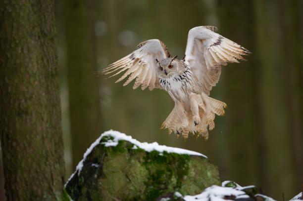 Landing western siberian eagle owl on snowy rock stock photo