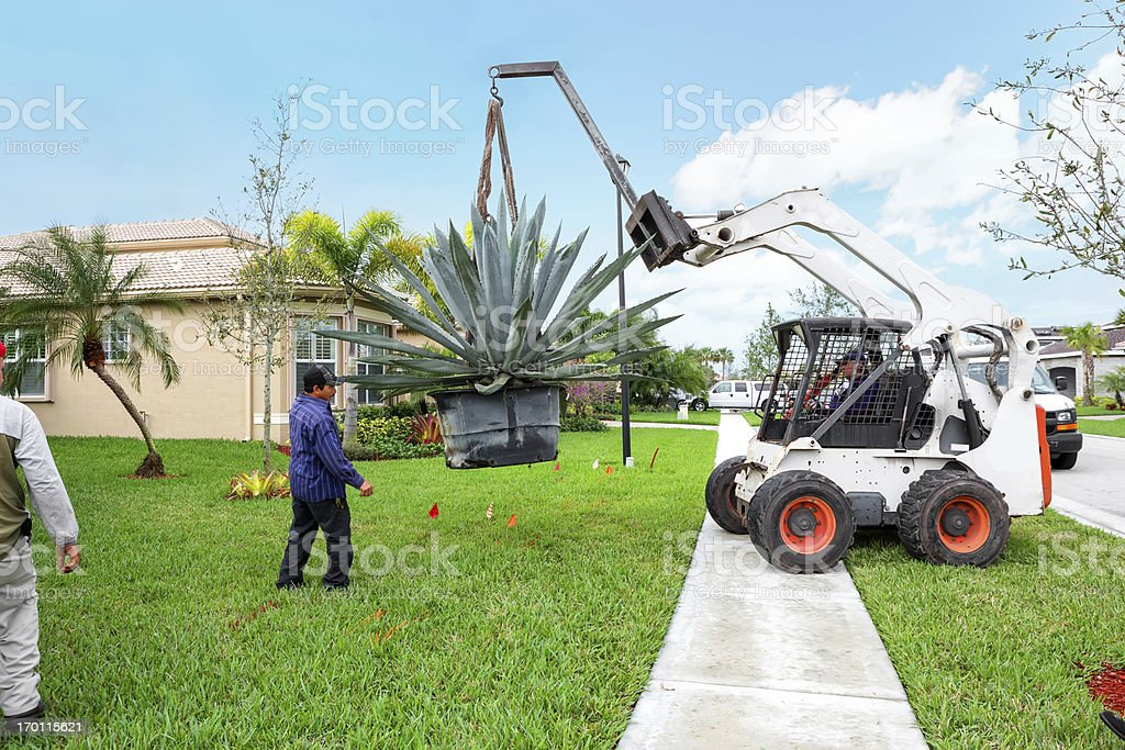 Landscaing: Moving a huge Agave plant stock photo