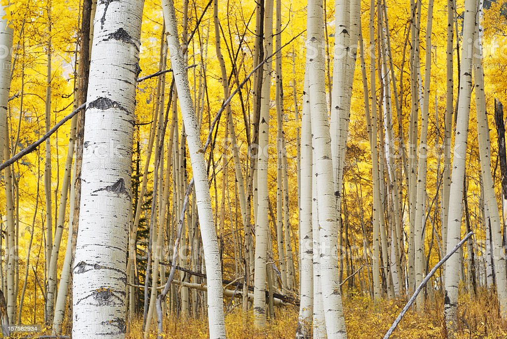 landscape autumn aspen forest yellow stock photo