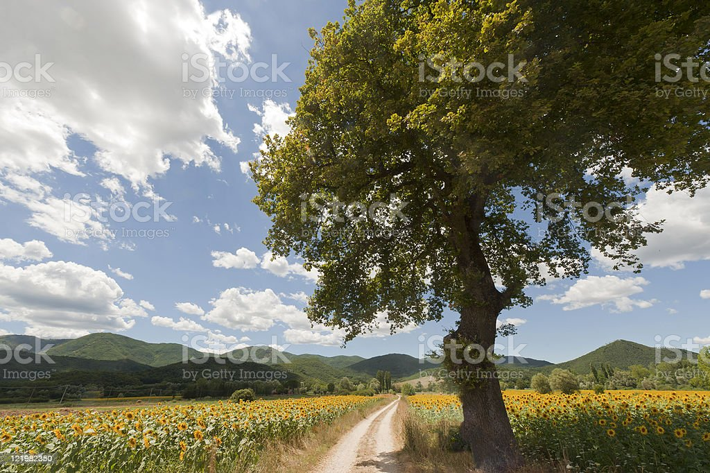 Landscape between Lazio and Umbria (Italy) at summer with sunflo royalty-free stock photo