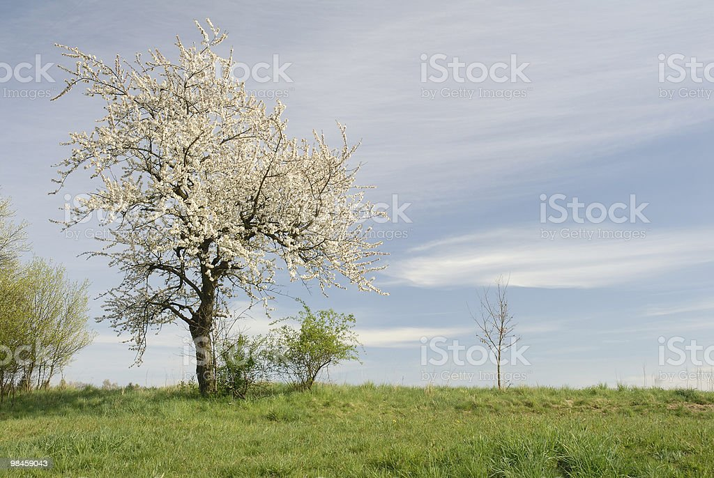 Landscape - cherry tree on the field and blue sky royalty-free stock photo