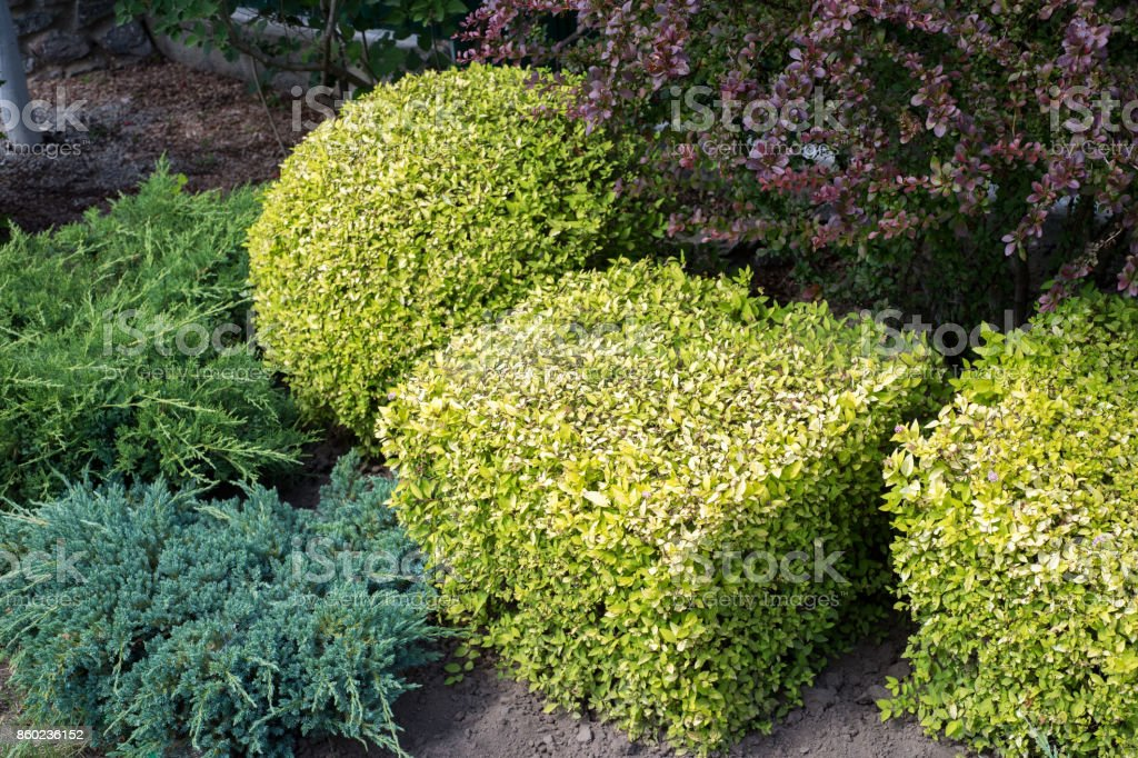Landscape design. Nicely trimmed bushes in the garden stock photo
