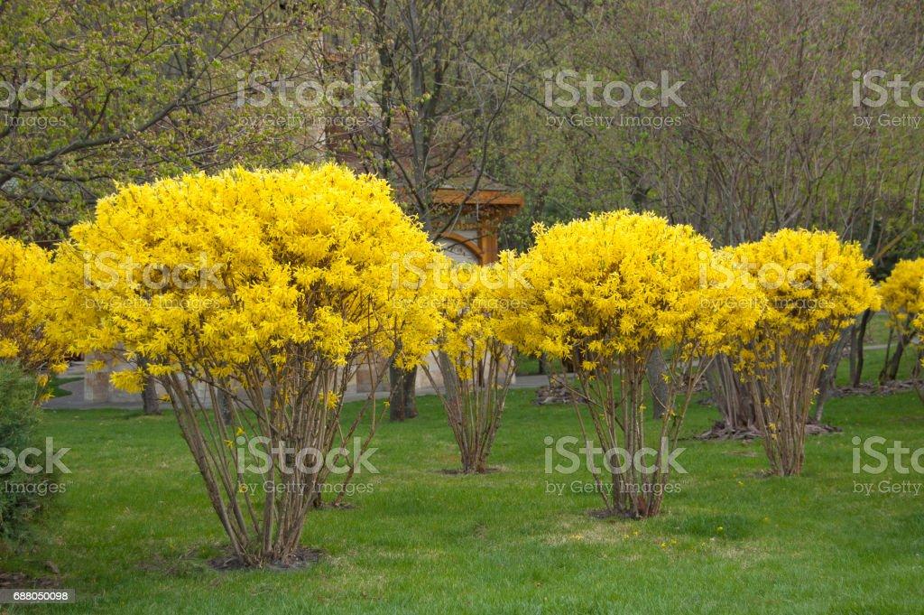 Landscape design, plants and trees near lake. Flower bloom. Spring. Forsythia stock photo