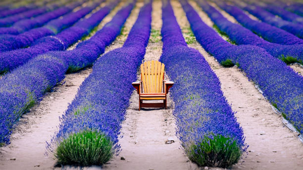 Landscape detail of colorful lavender field with wooden chair, relaxation concept, New Zealand stock photo