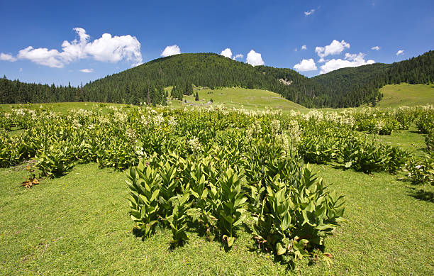 "Landscape from Apuseni Natural Park, Western Carpathians, Romania ""Corn lilies in an alpine landscape from Apuseni Natural Park, Western Carpathian Mountains, Romania"" false hellebore stock pictures, royalty-free photos & images"