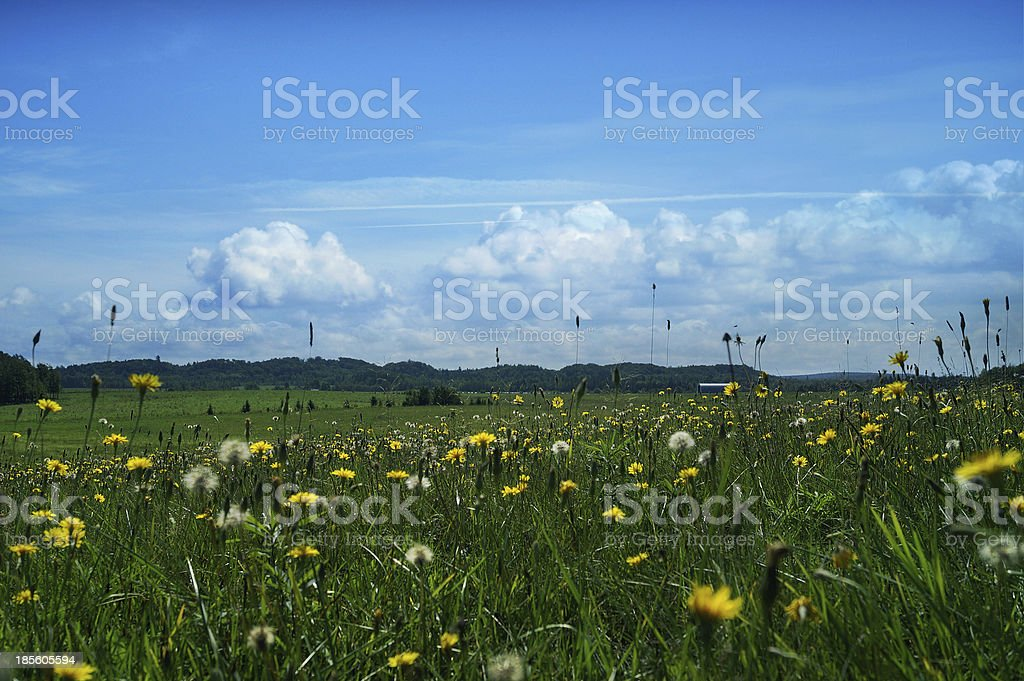 Landscape green meadow with many yellow dandelions royalty-free stock photo