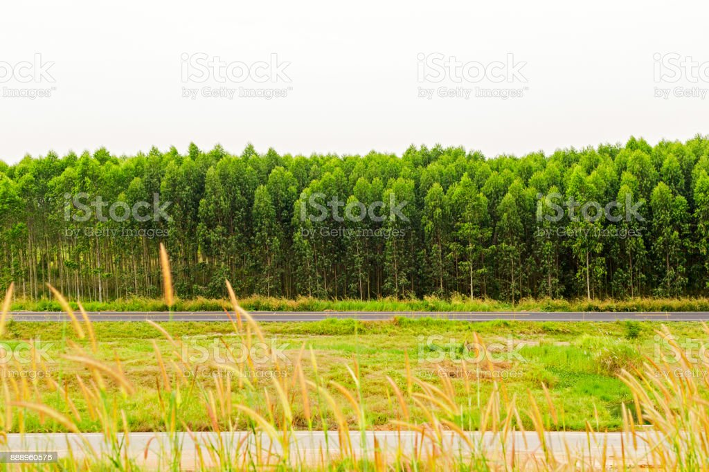 Landscape in country with field of eucalyptus background. stock photo