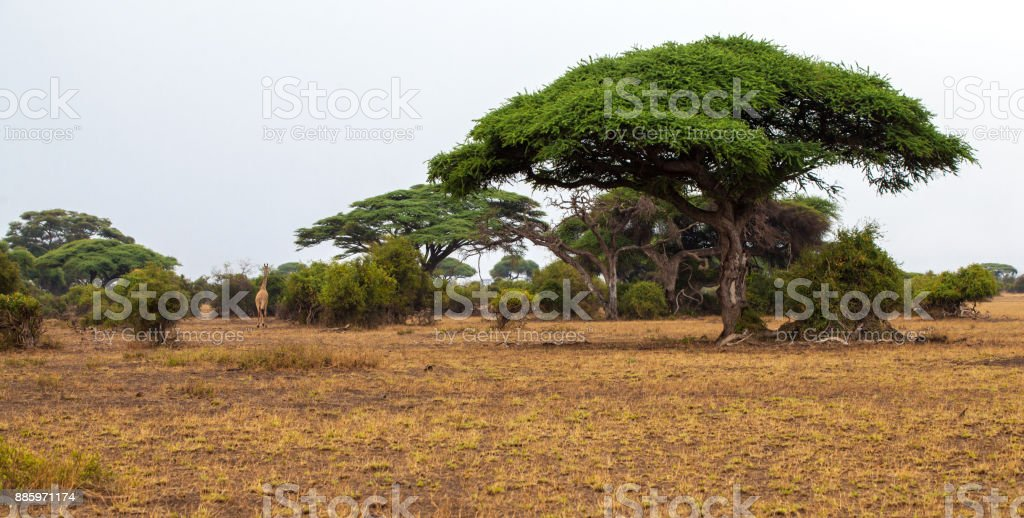 Landscape in Kenya with big trees, on safari stock photo