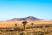 Landscape with Quiver Trees (Aloe dichotoma), Gaub Pass, Namibia
