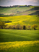 Landscape in spring. Sinuous green hills with yellow flowers.