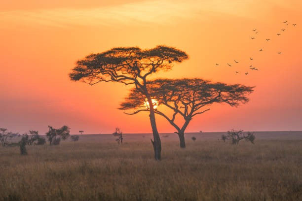 A landscape in the Serengeti national park, early morning with sunrise scence. stock photo
