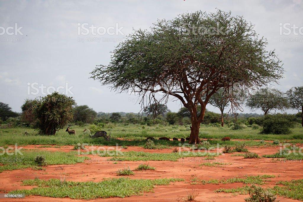 landscape in tsavo east national park stock photo